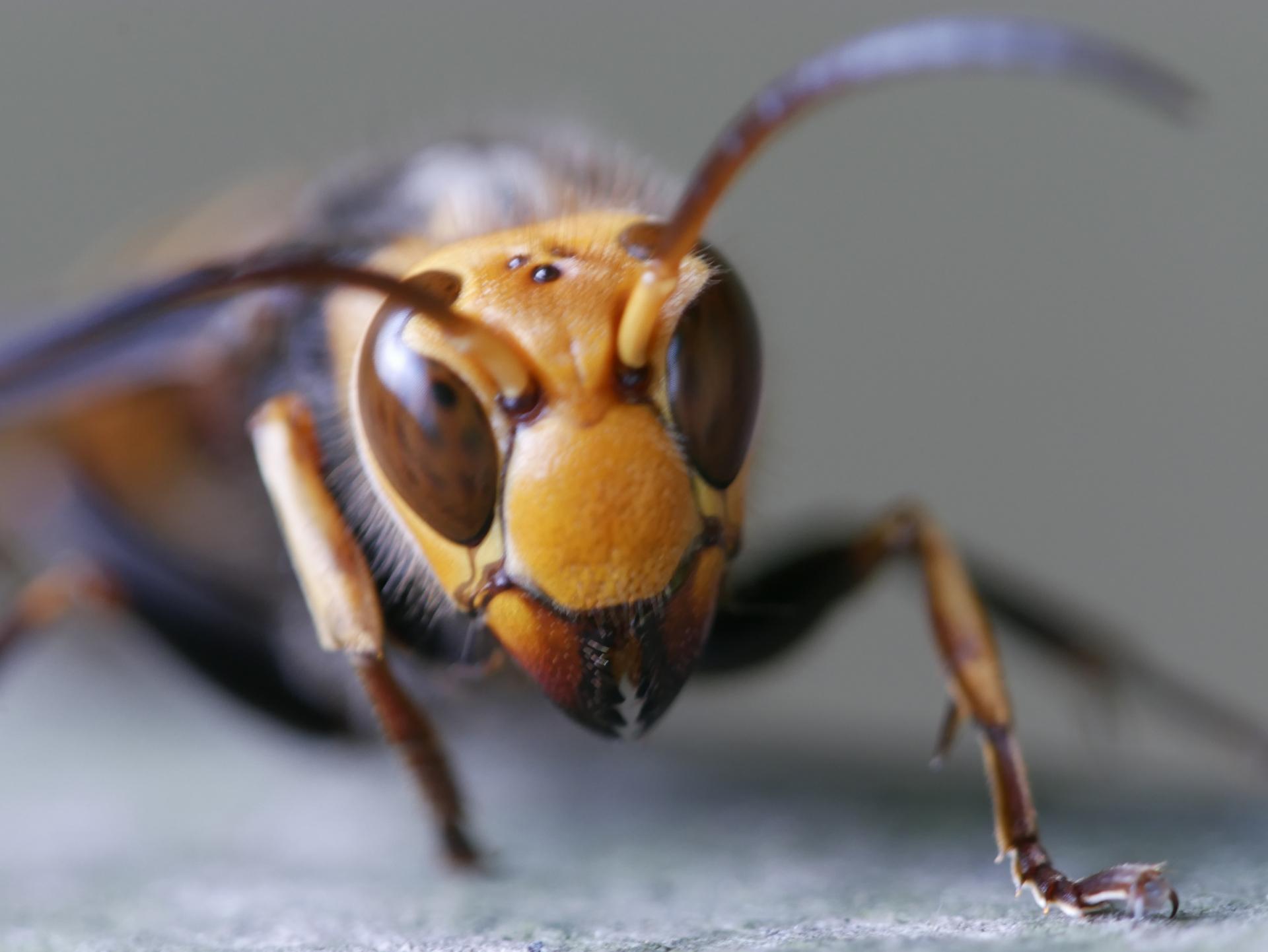 鬼の形相のスズメバチ