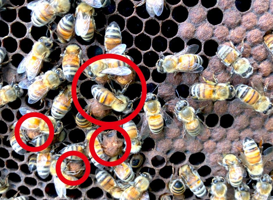 雄蜂と働き蜂の巣房の大きさの違い