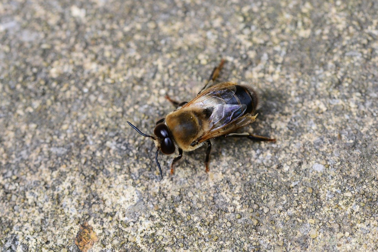 働き蜂より大きい雄蜂(Drone)