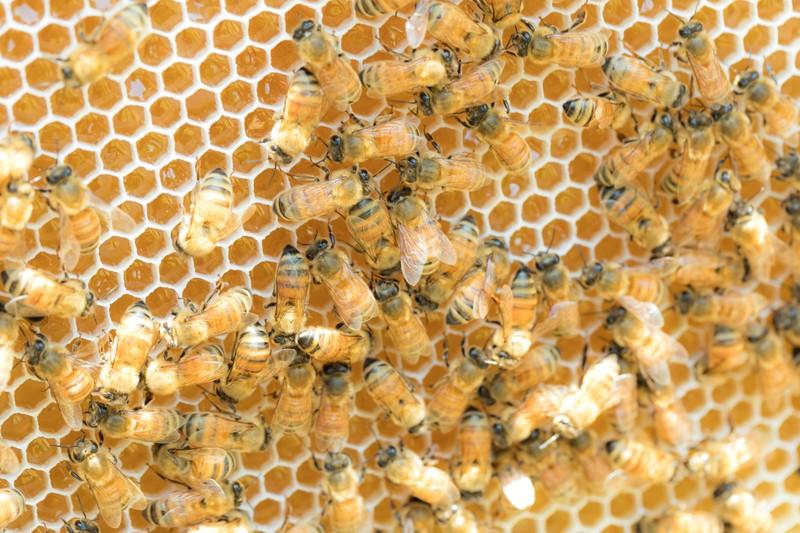 はちみつを貯めるミツバチたち